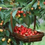 Лучшие сорта черешни для Подмосковья: описание сортов, агротехнические особенности