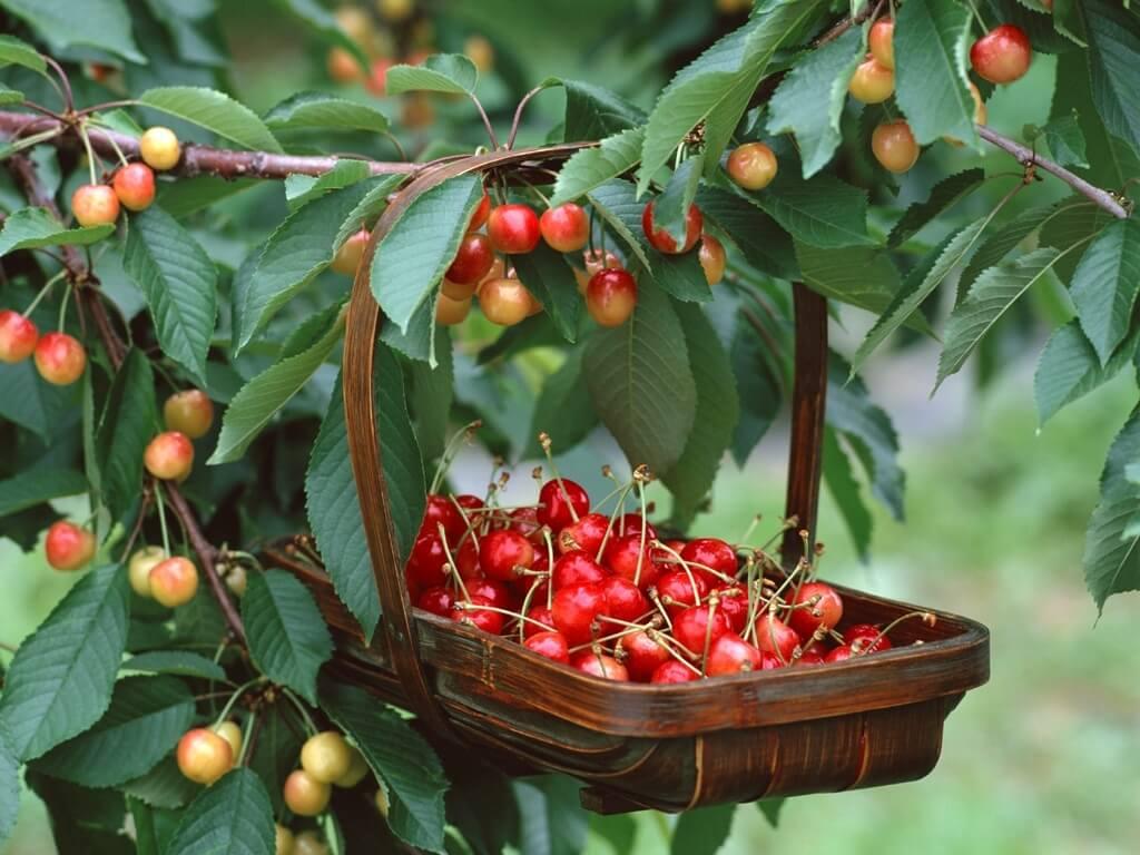 Лучшие сорта черешни для Подмосковья — описание сортов, агротехнические особенности