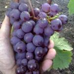 Все о винограде Черный ворон: описание и уход