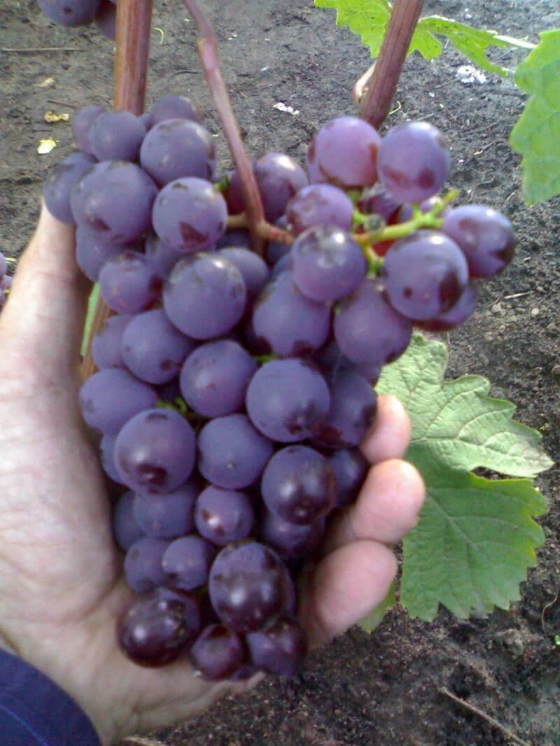 Все о винограде Черный ворон — описание, уход, болезни