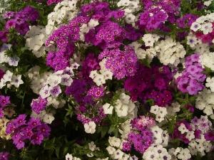 Для обильного цветения флокс Друммонда регулярно, раз в две недели, подкармливают