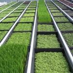 Как выращивать зелень в теплице зимой или всё о зимней зелени