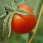 Томат цифомандра: уход и размножение
