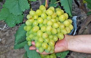 Размножение винограда осуществляется несколькими способами