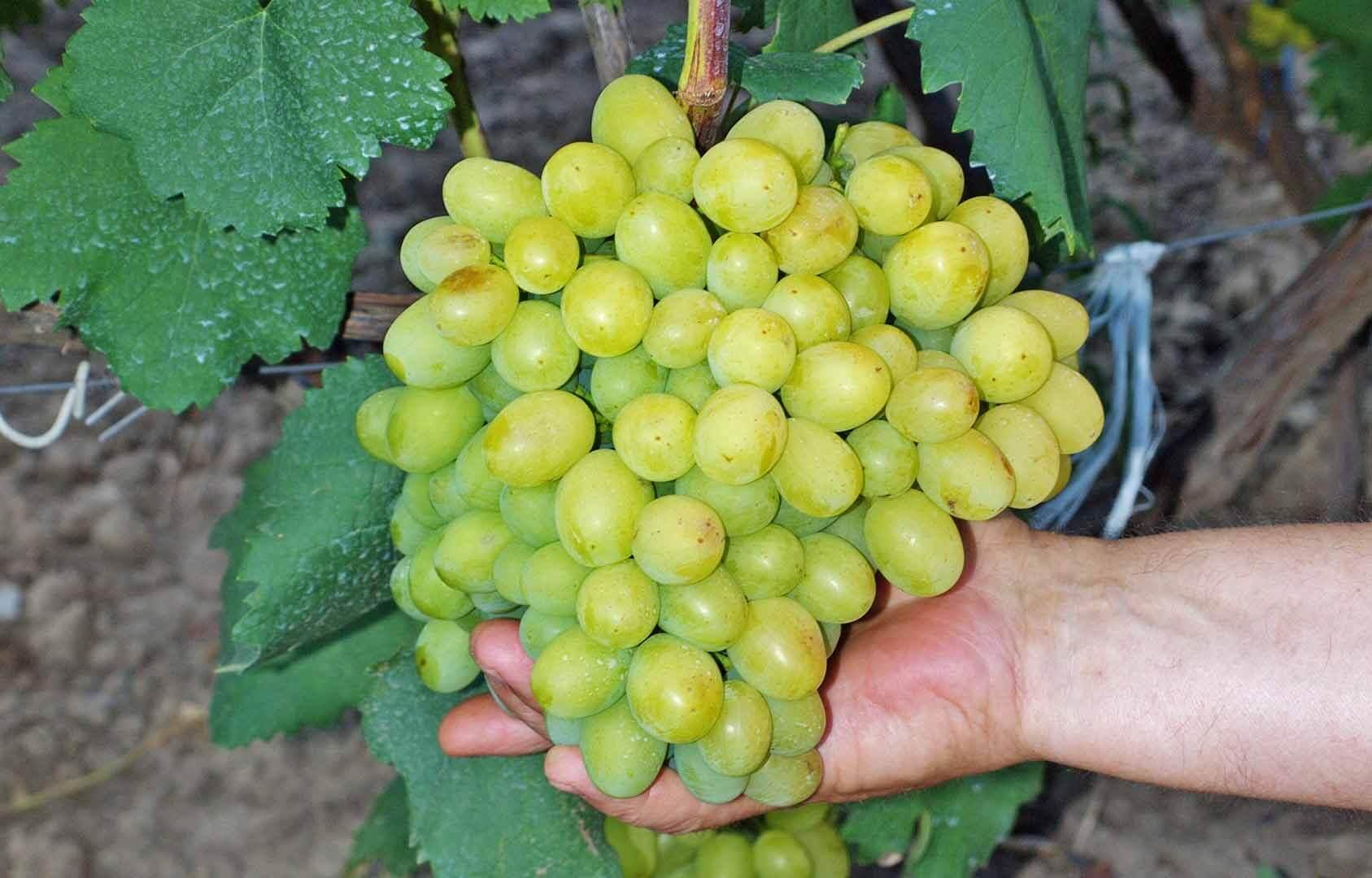 Проращивание и укоренение черенков винограда в домашних условиях — все хитрости