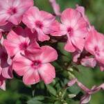 Флокс Друммонда: выращивание однолетника из семен