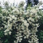 Декоративные кустарники для Сибири: лучшие сорта