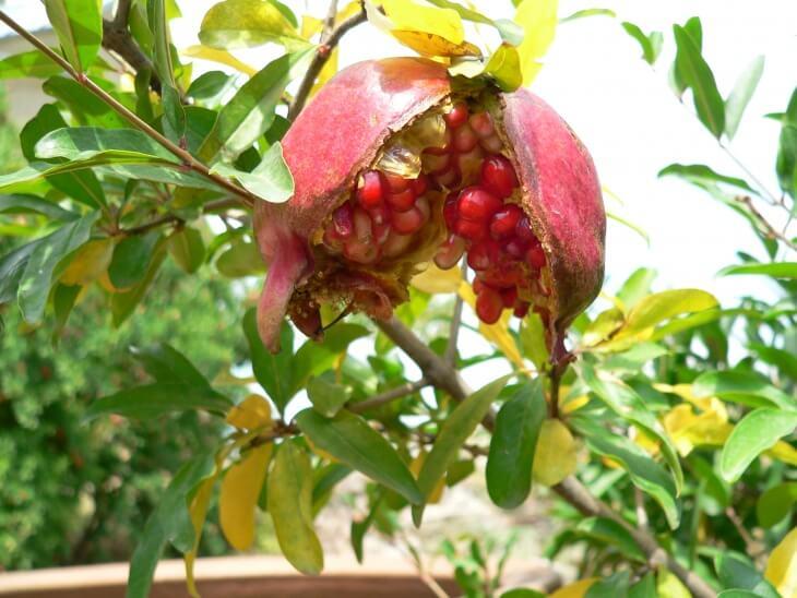 В качестве материала для посева подойдут обыкновенные магазинные плоды
