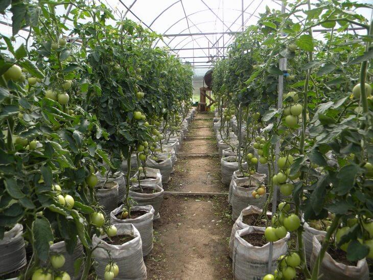В определенной период времени необходимо подвязать помидоры