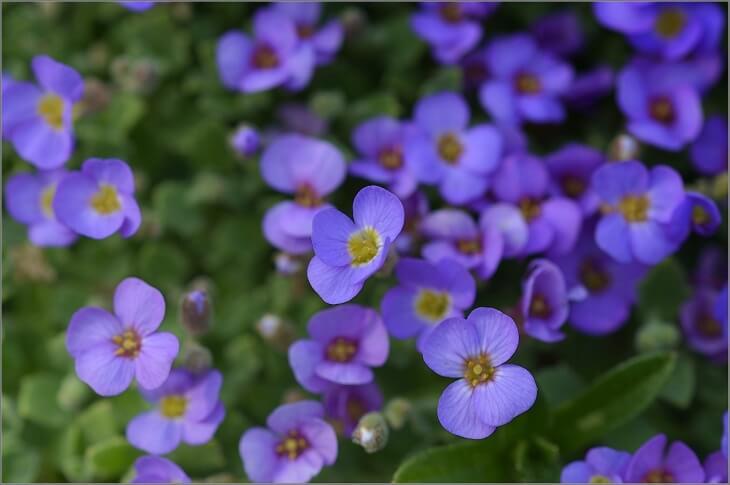 Семена рекомендуется сеять приблизительно за полтора или два месяца до того времени, как спадут последние холода