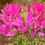 Клеома колючая – неприхотливая экзотика в вашем саду