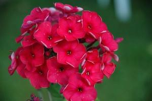 Флокс Друммонда – растение малотребовательное