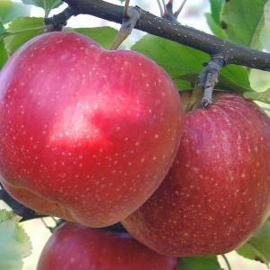 В домашних условиях плоды этого сорта хранятся в условиях холодильника до апреля