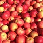 Сорт яблок Джонатан — вкус детства