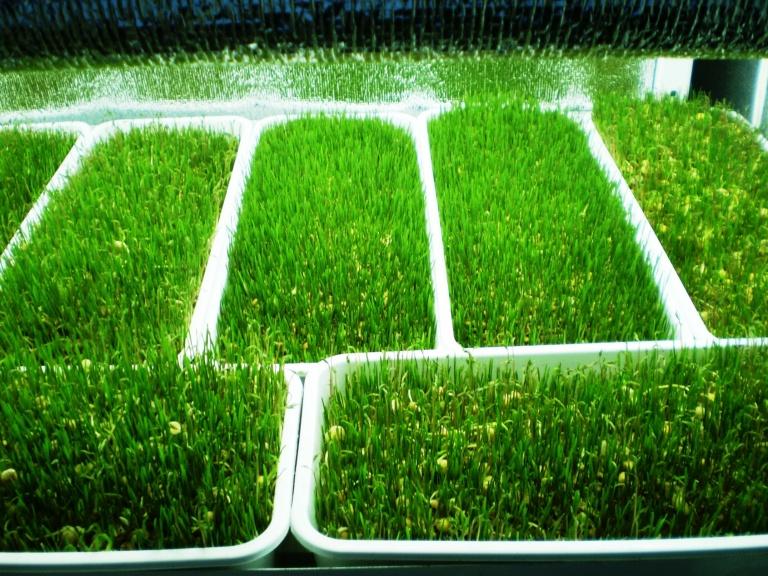 О выращивание укропа на гидропонике 80