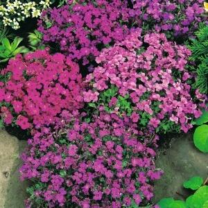 Самым длительным цветением обладают сорта, бутоны которых имеют фиолетовую или синюю окраску