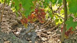 После появления листов на черенке можно высаживать его в открытый грунт