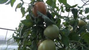 На протяжении всего периода помидоры нужно подкормить 3 раза