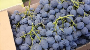 Высаживается виноград в посадочную яму глубиной около полуметра