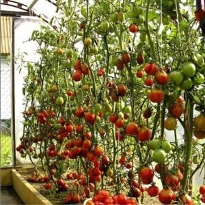 Сдержать рост помидоров поможет подкормка суперфосфатом