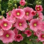 Мальва махровая выращивание из семян — занятие для садовых гурманов