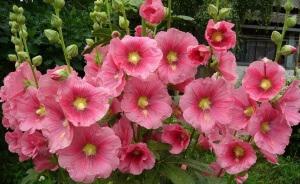 Мальвой в народе называют цветы на высоком цветоносе с крупными листьями и огромными цветами
