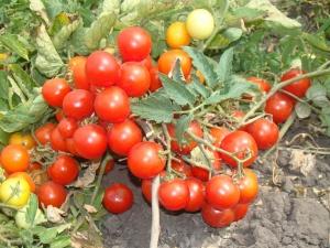 Низкорослые помидоры начинают выращивать с рассады