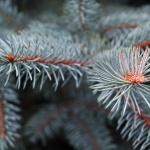 Выращиваем голубые ели на загородном участке: известные сорта