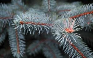 Первоначальным местом произрастания голубой ели считается Северная Америка