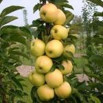 Колоновидная яблоня медок: описание и особенности сорта