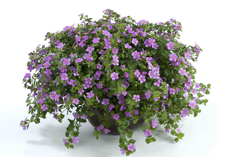 Цветок бакопа – замечательное украшение для лоджий, балконов и оранжерей