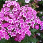 Метельчатые флоксы, цветок вне времени и моды