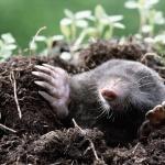 Как бороться с кротами на садовом участке? Полезные советы