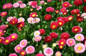 По срокам вегетации культура делится на многолетние и годичные сорта