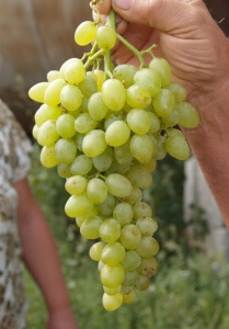 Виноград очень долго не приходит в себя после зимней спячки
