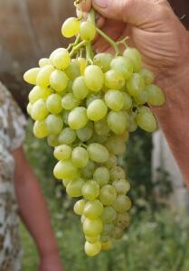 Плоды винограда (фото)