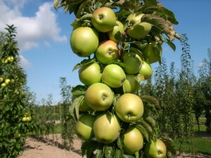 Яблуня колоновидна медок опис сорту фото