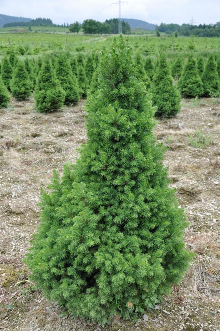 Ель коника выращивание в грунте 72