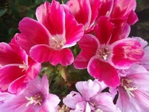 Отцветшие цветки следует удалять