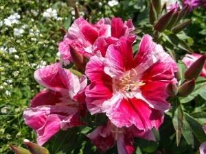 цветет с середины лета до середины осени
