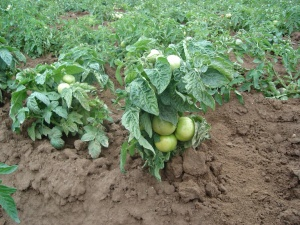 Многие сорта низкорослых томатов мало подвержены заболеваниям