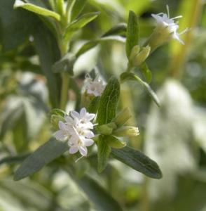 Так как пережить суровые условия зимы стевия не может, то ее в умеренном климате выращивают либо семенами, либо черенками