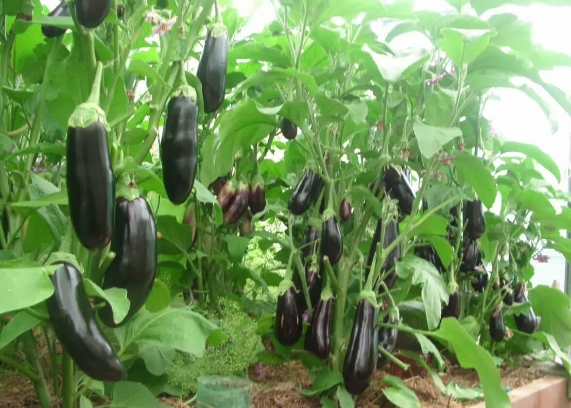 Посадка овощных культур с учетом их совместимости - планирование