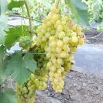 Куст винограда сильно разрастается в объеме, но по величине –  средний