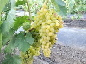 Виноград «Арсеньевский» – жемчужина селекции