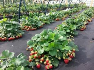 Собирать семена следует с основания и средней части плода