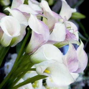 Калла будет радовать своим цветением до конца сентября – середины октября