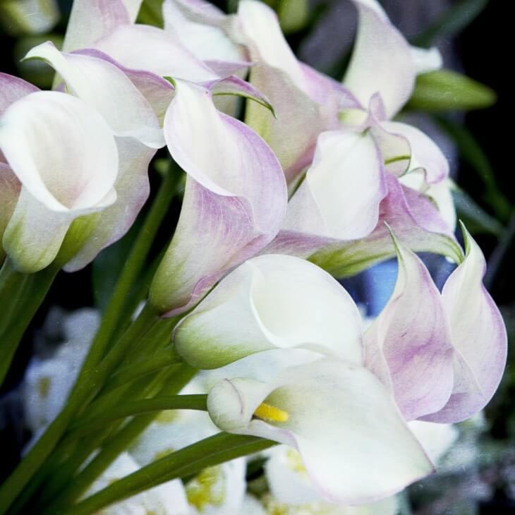 Обильное цветение каллы