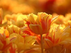 Срок охлаждения растения во многом зависит от сорта и размера самой луковицы