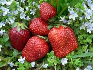 Климат в разных частях России существенно отличается друг от друга, поэтому нужно знать, какие сорта можно выращивать в конкретных районах